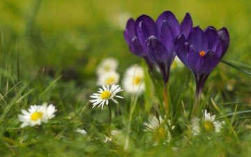 flowers, grass, nature, spring, crocuses, daisy