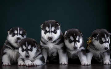eyes, muzzle, look, dog, puppy, husky, puppies, dogs