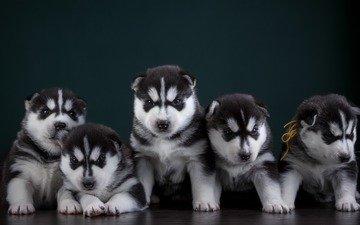 глаза, мордочка, взгляд, собака, щенок, хаски, щенки, собаки