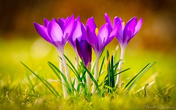 flowers, grass, spring, crocuses