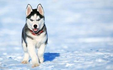 снег, зима, мордочка, взгляд, собака, щенок, хаски
