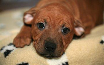 глаза, мордочка, взгляд, собака, щенок, бультерьер, стаффордширский бультерьер