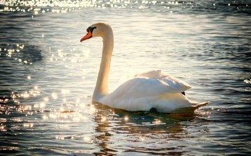 вода, птица, клюв, перья, лебедь