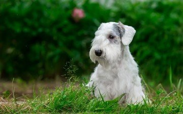 трава, мордочка, взгляд, собака, щенок, силихем-терьер