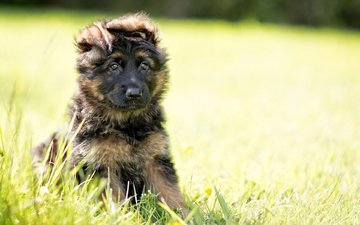 dog, puppy, german shepherd, the longitudinal axis of the