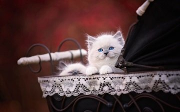 animals, cat, kitty, kittens, stroller, ragdoll