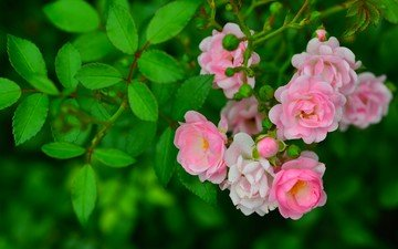 flowers, branch, buds, leaves, roses, briar
