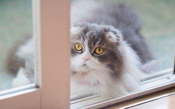 кот, мордочка, кошка, взгляд, окно, пушистая, шотландская, вислоухая, желтые глаза
