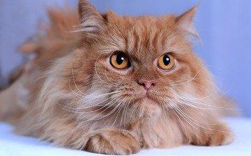кот, мордочка, усы, кошка, взгляд, рыжая, пушистая