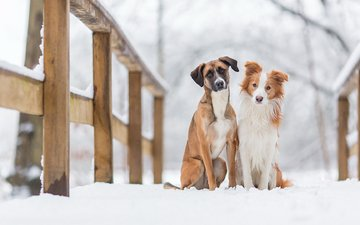 snow, winter, animals, bridge, look, friends, dogs, faces