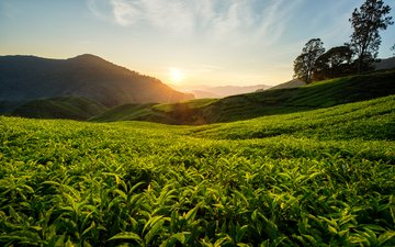 hills, nature, landscape, tea, malaysia, tea plantation