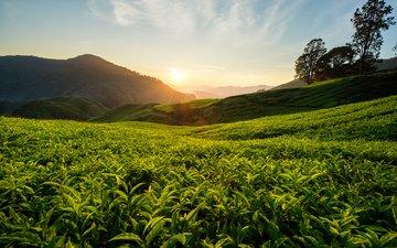 холмы, природа, пейзаж, чай, малайзия, чайная плантация