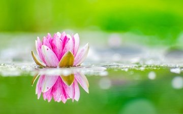flower, petals, lotus, pond
