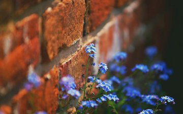 flowers, wall, brick, forget-me-nots