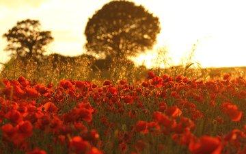 flowers, nature, field, maki