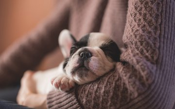 dog, puppy, hands, french bulldog