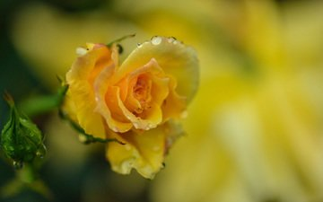 flower, drops, rose, petals