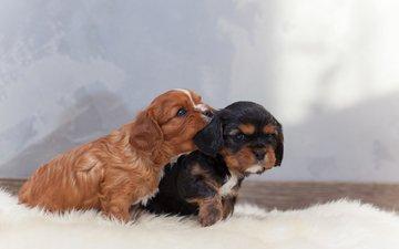 puppies, dogs, spaniel, cavalier-king-charles-spaniel, mia m