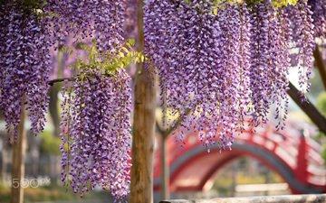 цветы, цветение, весна, глициния, вистерия
