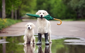 dog, puppy, umbrella, puddle, boots, golden retriever