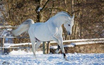 лошадь, конь, бег, грация, (с) oliverseitz