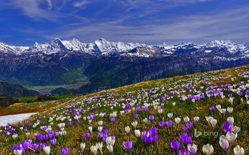 flowers, grass, mountains, snow, slope, glade, spring, crocuses