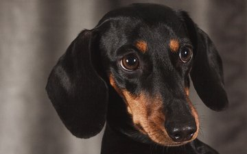 eyes, look, dog, puppy, dachshund