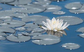 flowers, lotus, pond, water lily, sergey kuznetsov