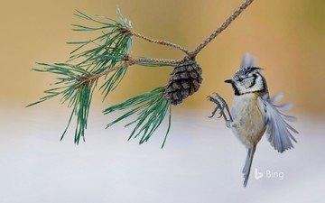 ветка, птица, шишка, сосна, синица, хохлатая синица