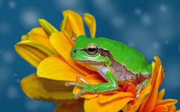 макро, цветок, лягушка, жаба