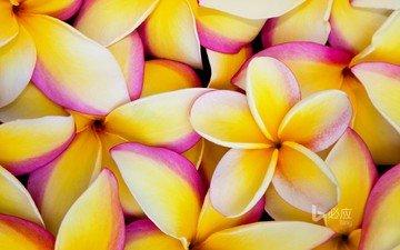flowers, petals, plumeria, frangipani
