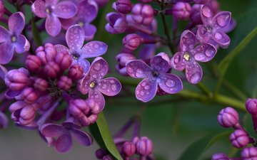 flowers, flowering, drops, spring, lilac