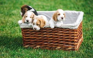 grass, basket, puppies, dogs, spaniel, beagle