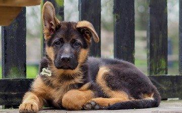 мордочка, взгляд, собака, щенок, немецкая овчарка
