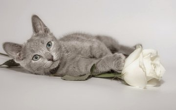 flower, cat, muzzle, rose, look, kitty