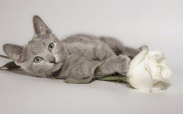 цветок, кот, мордочка, роза, кошка, взгляд, котенок