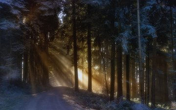 trees, nature, forest, winter, the sun's rays