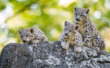 snow leopard, irbis, cubs