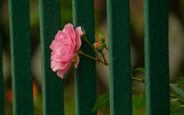 flower, rose, petals, the fence