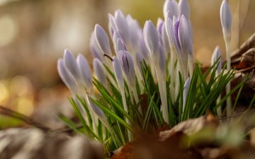 flowers, buds, spring, crocuses