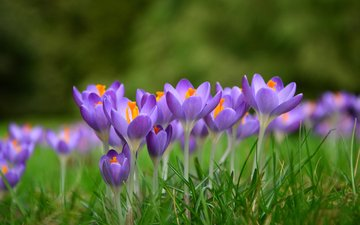 flowers, grass, spring, crocuses