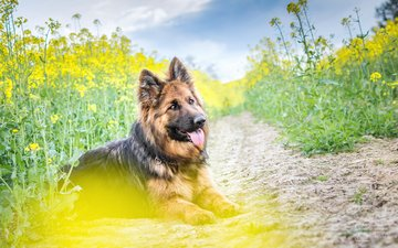 flowers, dog, language, german shepherd, yellow flowers, the longitudinal axis of the, j.wiselka