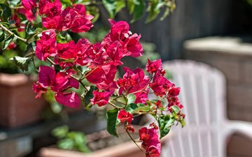 flowers, branch, leaves, petals, bougainvillea