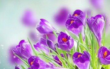 цветы, весна, крокусы