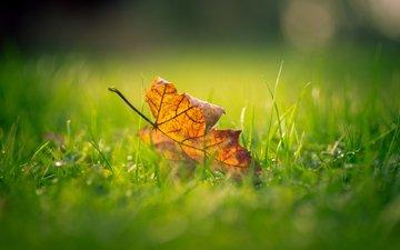 grass, macro, autumn, sheet, blur, maple leaf
