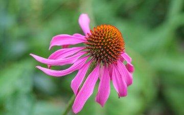 flower, petals, blur, echinacea