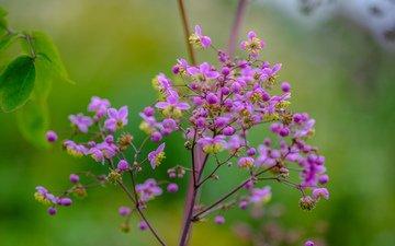 цветы, природа, фон, размытость, стебель, василистник раскидостоцветковый, василистник