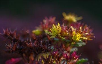 цветы, природа, растения, фон, капли, растение, очиток