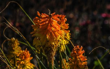 flowers, nature, plants, background, kniphofia