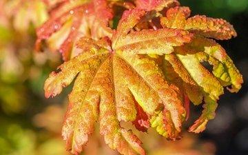 leaves, drops, autumn, rain